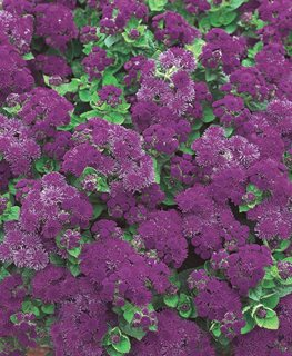 Artist Purple Floss Flower, Ageratum Hybrid, Purple Flower Proven Winners Sycamore, IL