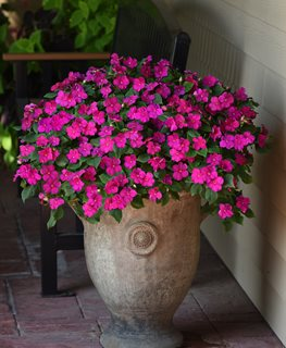 Beacon Violet Shades, Impatiens Walleriana,  Ball Horticultural Company Chicago, IL