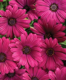 Bright Lights Purple African Daisy, Osteospermum, Purple Flower Proven Winners Sycamore, IL