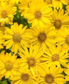 Bright Lights Yellow Osteospermum, Yellow African Daisy, Osteospermum Hybrid Proven Winners Sycamore, IL
