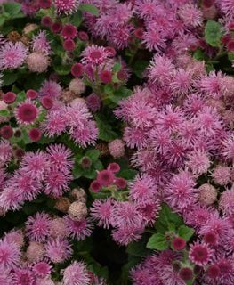 Bumble Rose Floss Flower, Ageratum Hybrid, Pink Floss Flower Millette Photomedia