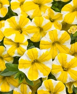 Calibrachoa, Million Bells, Lemon Slice Proven Winners Sycamore, IL