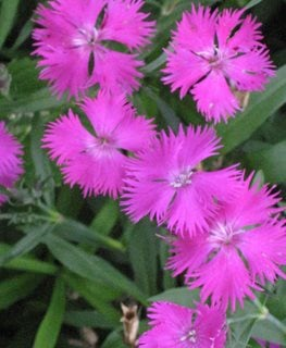 China Pink, Rainbow Pink, Dianthus Chinensis Millette Photomedia ,