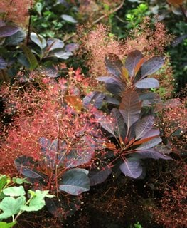 Cotinus Grace, Grace Smoke Bush, Red Flower Plume Spring Meadow Nursery Grand Haven, MI