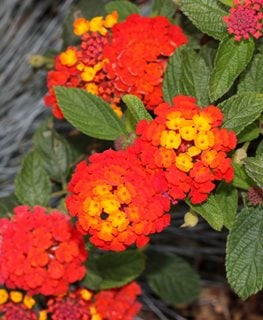 Dallas Red Lantana, Red And Yellow Flowers Shutterstock.com New York, NY