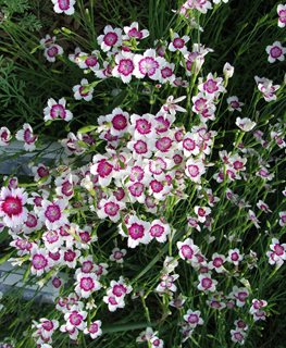 Dianthus Arctic Fire, Maiden Pink Millette Photomedia ,