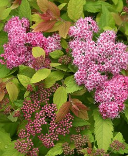 Double Play Big Bang Spirea, Spiraea Japonica Proven Winners Sycamore, IL