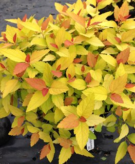Double Play Candy Corn Spirea, Spiraea Japonica, Gold Leaves Proven Winners Sycamore, IL