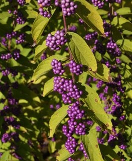 Early Amethyst, Callicarpa Dichotoma, Purple Berries Millette Photomedia