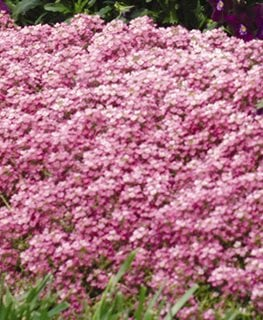 Easter Bonnet Alyssum, Deep Pink Ball Horticultural Company Chicago, IL