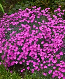 Firewitch Dianthus, Cheddar Pinks Walters Gardens ,
