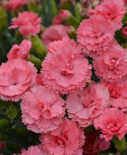 Fruit Punch Classic Coral Dianthus, Dianthus, Pinks, Coral Pink Flowers Proven Winners Sycamore, IL