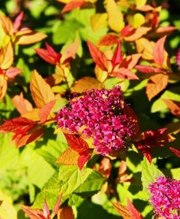 Goldflame Spirea, Spiraea Japonica Shutterstock.com New York, NY
