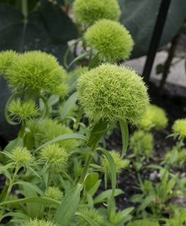Green Ball Dianthus, Dianthus Barbatus Millette Photomedia ,