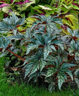 Gryphon Begonia, Cane Begonia Millette Photomedia ,