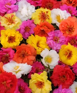 Happy Trails Portulaca Mix, Portulaca Grandiflora, Portulaca Mix Ball Horticultural Company Chicago, IL