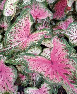 Heart And Soul Caladium, Pink And Green Leaves, Tropical Houseplant Proven Winners Sycamore, IL
