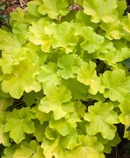Heuchera 'citronelle', Coral Bells, Chartreuse Leaves Alamy Stock Photo Brooklyn, NY