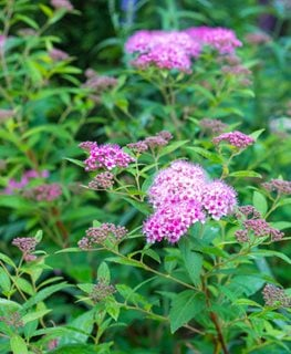 Little Princess Spirea, Spiraea Japonica, Flowering Shrub Shutterstock.com New York, NY