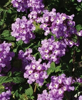 Luscious Grape Lantana, Purple Flower Proven Winners Sycamore, IL