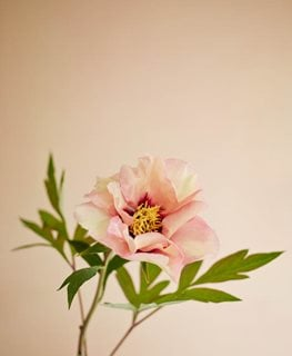 Marchioness, Peony, Fragrant, Shrub Garden Design Calimesa, CA