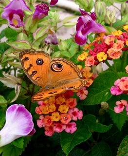 Miss Huff Plant, Butterfly On Flower Millette Photomedia ,