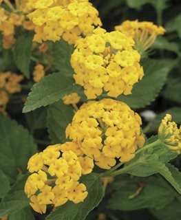 New Gold Lantana, Yellow Flower Millette Photomedia ,