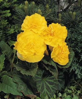 Nonstop Yellow Begonia, Tuberous Begonia, Yellow Flower Proven Winners Sycamore, IL