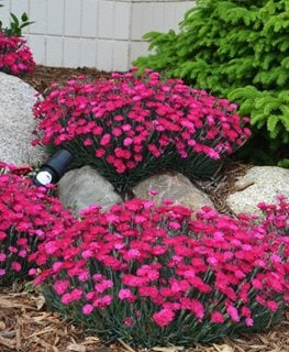 Paint The Town Magenta Dianthus, Pinks, Dianthus Proven Winners Sycamore, IL