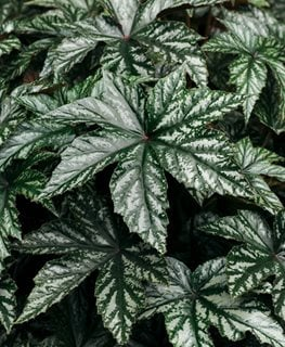 Pegasus Begonia, Begonia Hybrid Proven Winners Sycamore, IL