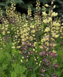 Pink Lemonade Baptisia, Pink And Yellow Flowers, Baptisia Hybrid Proven Winners Sycamore, IL