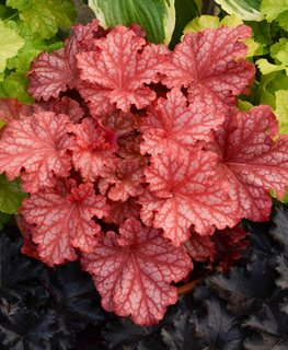 Primo 'peachberry Ice', Coral Bells, Orange Leaves Proven Winners Sycamore, IL