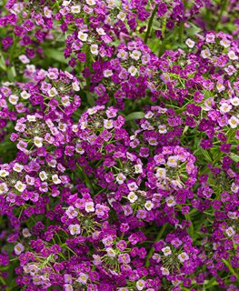 Purple Alyssum, Dark Knight Proven Winners Sycamore, IL