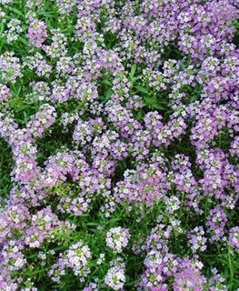 Purple Alyssum, Royal Carpet All-America Selections Downers Grove, IL