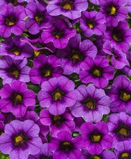 Purple Calibrachoa, Superbells, Grape Punch Proven Winners Sycamore, IL