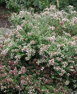 Rose Creek Abelia, Flowering Shrub Millette Photomedia
