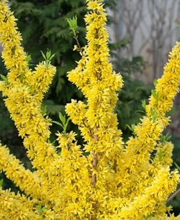Show Off Forsythia, Forsythia Intermedia, Yellow Flowers Proven Winners Sycamore, IL