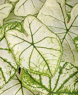 Snow Drift Caladium, Elephant Ear, White And Green Leaves Proven Winners Sycamore, IL