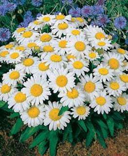 Snow Lady Shasta Daisy, Leucanthemum Superbum All-America Selections Downers Grove, IL