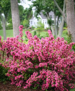 Sonic Bloom, Reblooming Weigela Proven Winners Sycamore, IL
