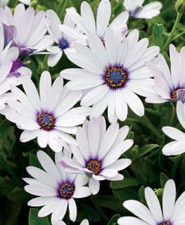 Soprano White African Daisy, Osteospermum Hybrid, White And Purple Flower Proven Winners Sycamore, IL