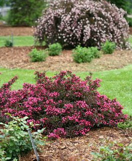 Spilled Wine, Weigela Shrub Proven Winners Sycamore, IL