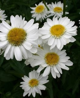Sunny Side Up Shasta Daisy, Leucanthemum Superbum Millette Photomedia