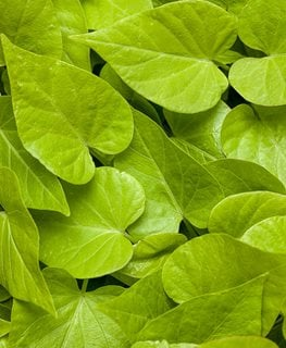 Sweet Caroline Sweetheart Lime, Sweet Potato Vine, Lime Green Leaves Proven Winners Sycamore, IL