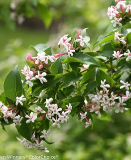 Sweet Emotion Abelia, Deciduous Shrub Proven Winners Sycamore, IL