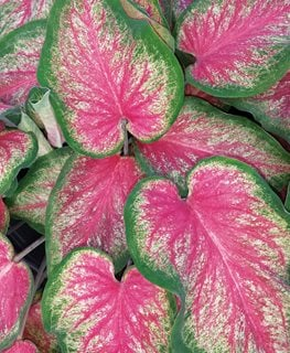 Tickle Me Pink Caladium, Pink And Green Leaves, Caladium Hortulanum Proven Winners Sycamore, IL
