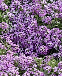 Violet Queen, Alyssum Flowerste Alamy Stock Photo Brooklyn, NY