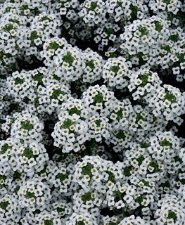 White Alyssum, Snow Princess Proven Winners Sycamore, IL