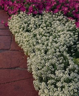 White Lobularia, Snow Crystals Ball Horticultural Company Chicago, IL