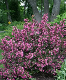 Wine And Roses, Weigela Bush Proven Winners Sycamore, IL